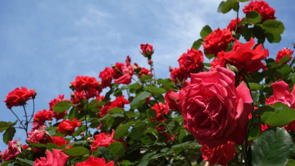 История происхождения розы
