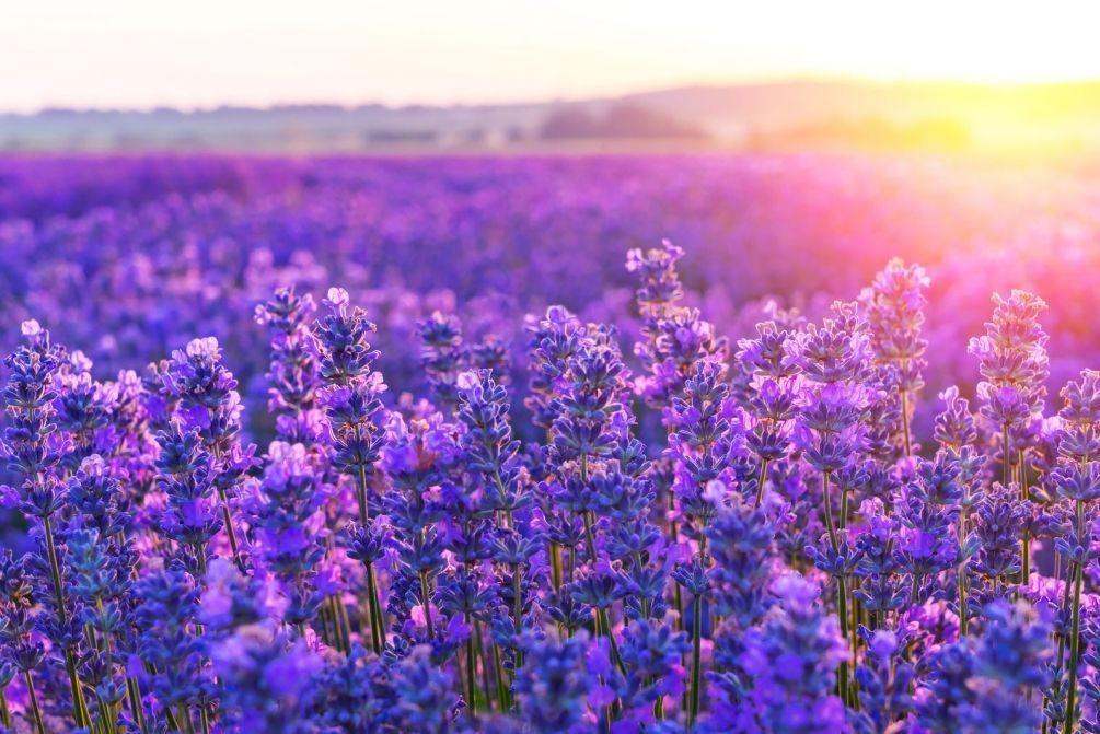 Лаванда цветок история
