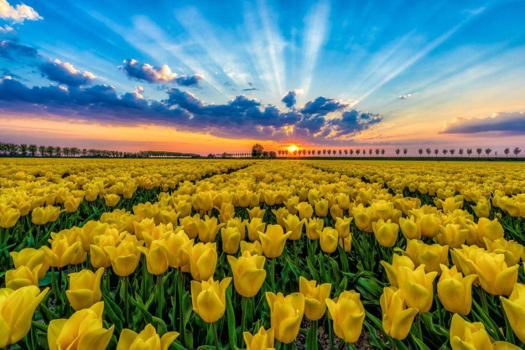история одного цветка тюльпан фото